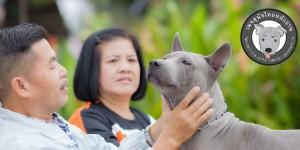 ดูแลสุนัขขนกำมะหยี่,สุนัขแพ้ยุง,ผิวหน้งแพ้ยุง,ยาแก้อักเสบสุนัข,สุนัขป่วย,ดูแลสุนัขไทยหลังอาน,สุนัขไทยหลังอานดุ,สุนัขดุกัด,ถูกสุนัขกัด,ลูกสุนัขไทยหลังอานย้ายบ้าน,กักขังสุนัข,ลงโทษสุนัข,สุนัขไทยหลังอานเฝ้าบ้าน,เฝ้าสวน,สุนัขไทยหลังอานจับงู,สุนัขต่อสู้กับงู,ลิ้นดำแก้พิษงู,สุนัขสวย,สุนัขไทยหลังอานเกรดประกวด,สายเลือดแชมป์,ไทยแชมป์,สุนัขไทยหลังอานเชียงราย,สุนัขไทยหลังอานเชียงใหม่,สุนัขไทยหลังอานกรุงเทพ,สุนัขไทยหลังอานภูเก็ต,