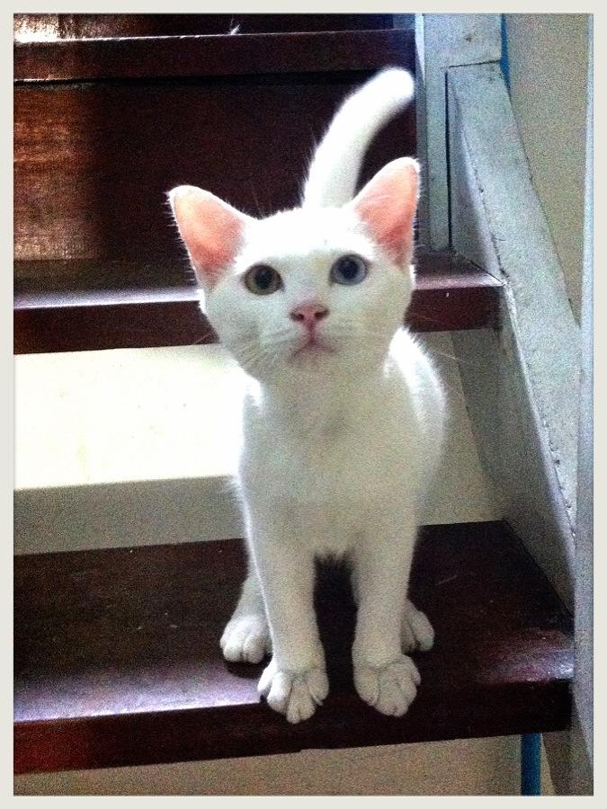 ซื้อขายแมววิเชียรมาศขาวมณีสีสวาดโคราชเปอร์เซียS__1663027