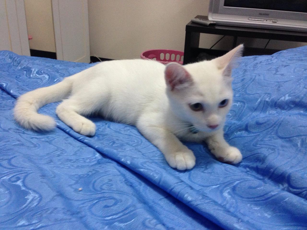 ซื้อขายแมววิเชียรมาศขาวมณีสีสวาดโคราชเปอร์เซียS__999433