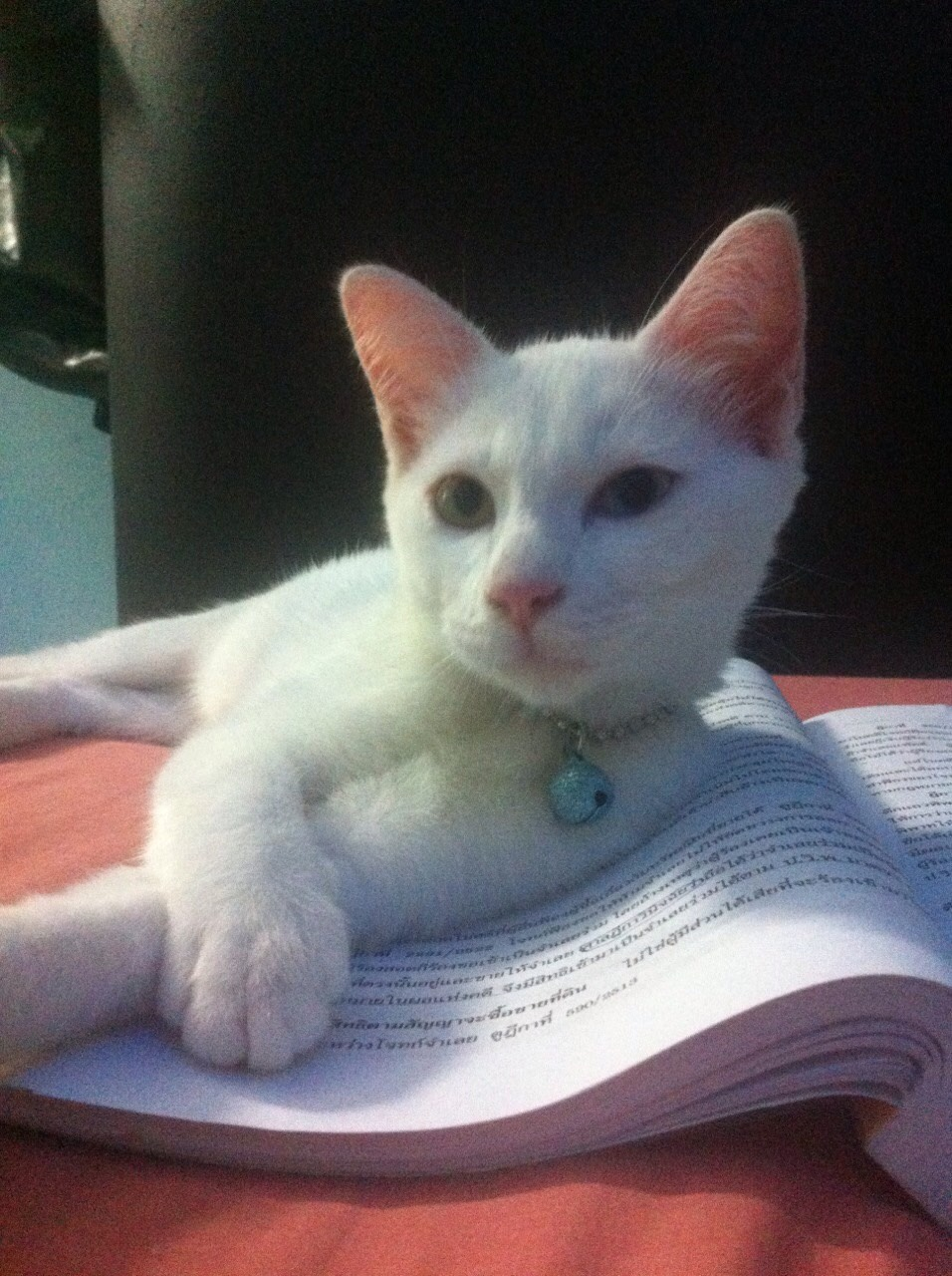 ซื้อขายแมววิเชียรมาศขาวมณีสีสวาดโคราชเปอร์เซียS__999434