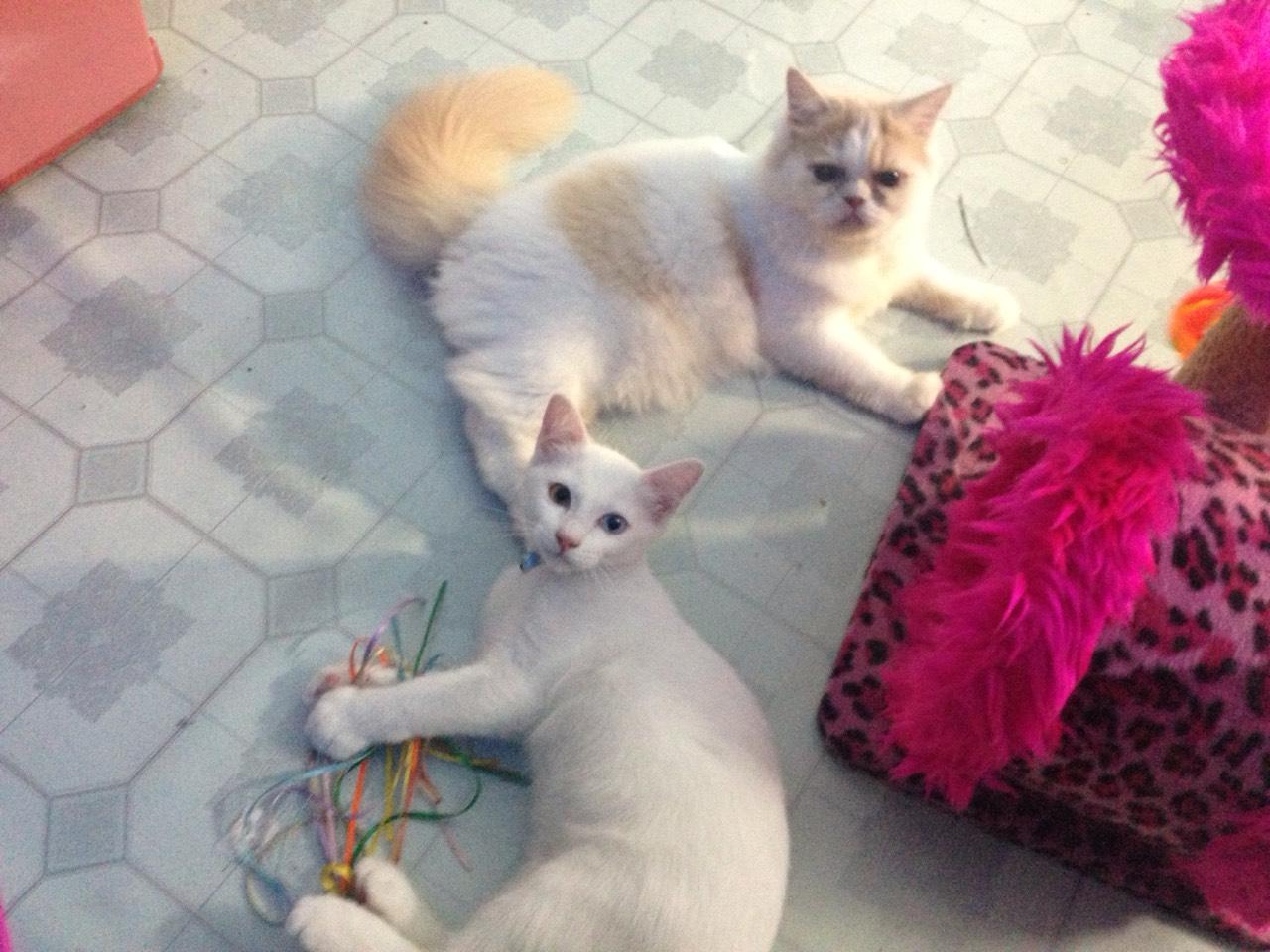 ซื้อขายแมววิเชียรมาศขาวมณีสีสวาดโคราชเปอร์เซียS__999437