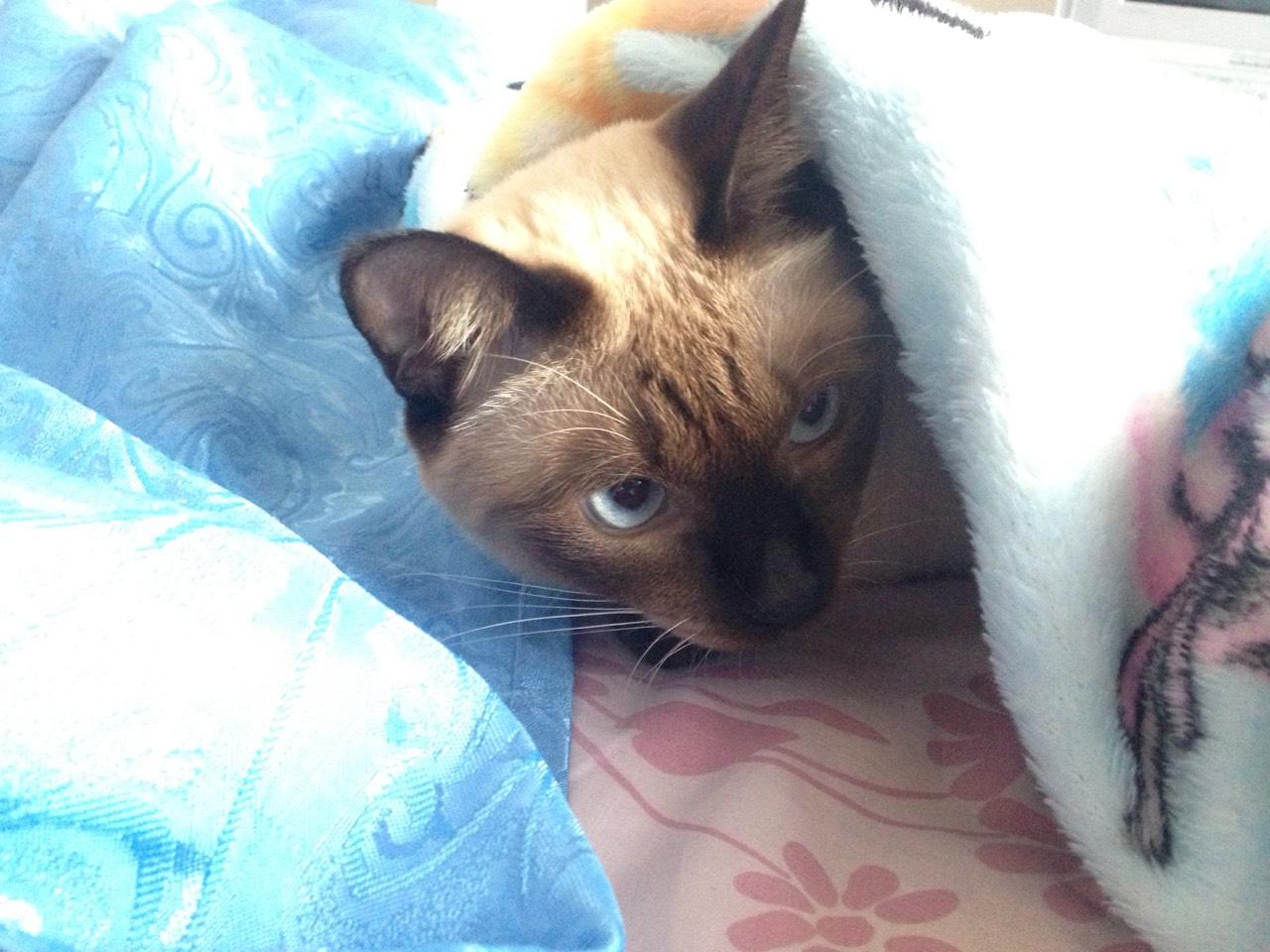 ซื้อขายแมววิเชียรมาศขาวมณีสีสวาดโคราชเปอร์เซียS__999438