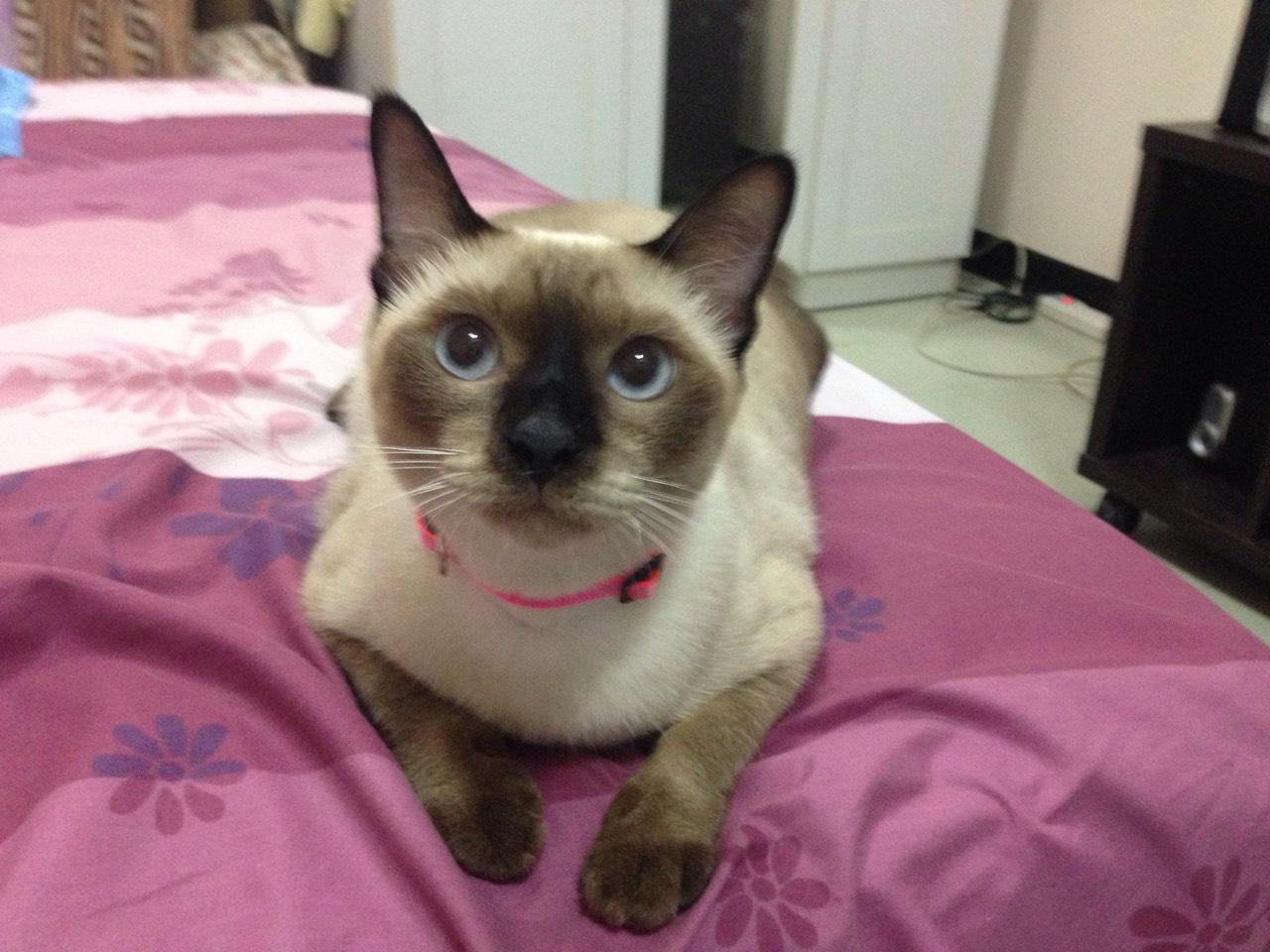 ซื้อขายแมววิเชียรมาศขาวมณีสีสวาดโคราชเปอร์เซียS__999443