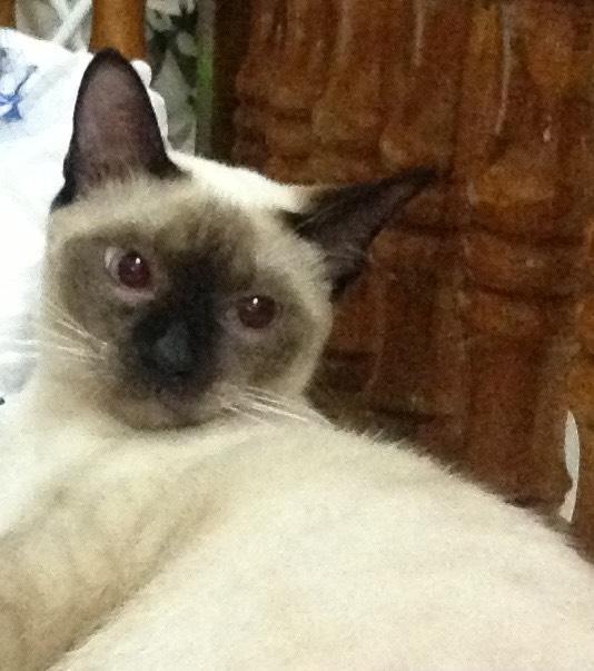 ซื้อขายแมววิเชียรมาศขาวมณีสีสวาดโคราชเปอร์เซียS__999444