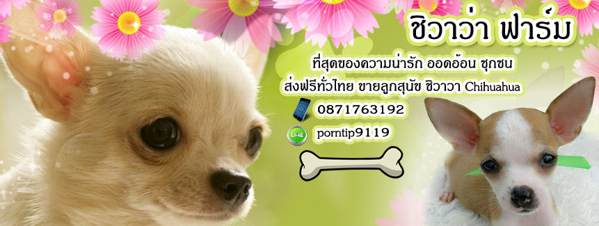 ส่งฟรีทั่วไทย  ขายลูกสุนัข  ชิวาวา เกรดสวย 0871763192  Line ID:porntip9119