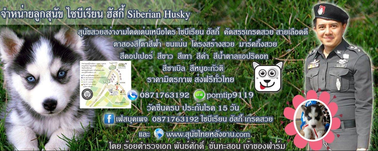 ส่งฟรีทั่วไทย ขายลูกสุนัข ไซบีเรียน ฮัสกี้ 0871763192 Line ID:porntip9119