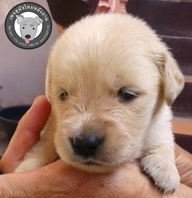 พรทิพย์ เชียงราย สุนัขโกลเด้น2041266