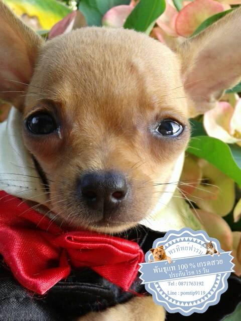 24539ซื้อขายสุนัขฟาร์มสวยชิวาว่า