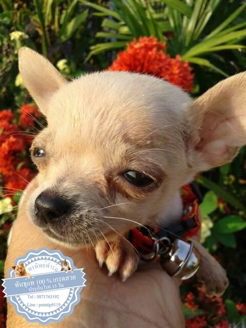 24578ซื้อขายสุนัขฟาร์มสวยชิวาว่า