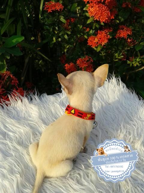 24579ซื้อขายสุนัขฟาร์มสวยชิวาว่า