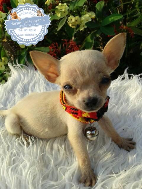 24585ซื้อขายสุนัขฟาร์มสวยชิวาว่า