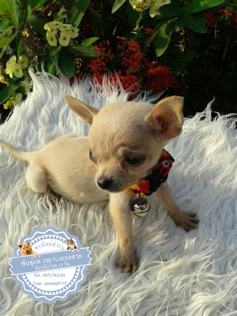 24587ซื้อขายสุนัขฟาร์มสวยชิวาว่า
