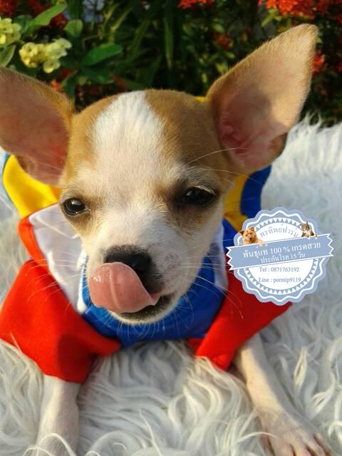 24646ซื้อขายสุนัขฟาร์มสวยชิวาว่า