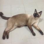 น้อง สิริ แมวสีสวาด กับ น้อง เศรษฐี แมวขาวมณี ค่ะ