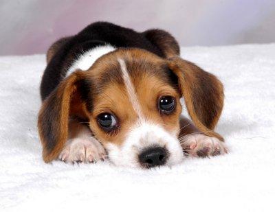 beagle-picture-127