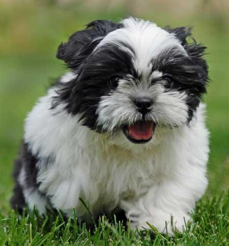 black-and-white-shih-tzu-puppies-327