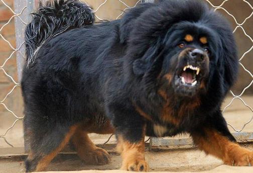 dog-bad-dog-Tibetan-Mastiff_dogs_oct_2012