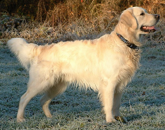 golden-retriever-for-photos-131