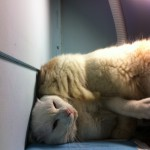 แมวไทยแมวเปอร์เชีย ขาวมณี