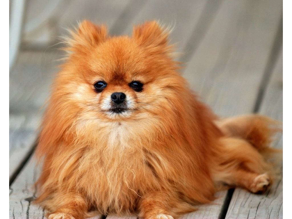 pomeranian_all_small_dogs_wallpaper-1024x768