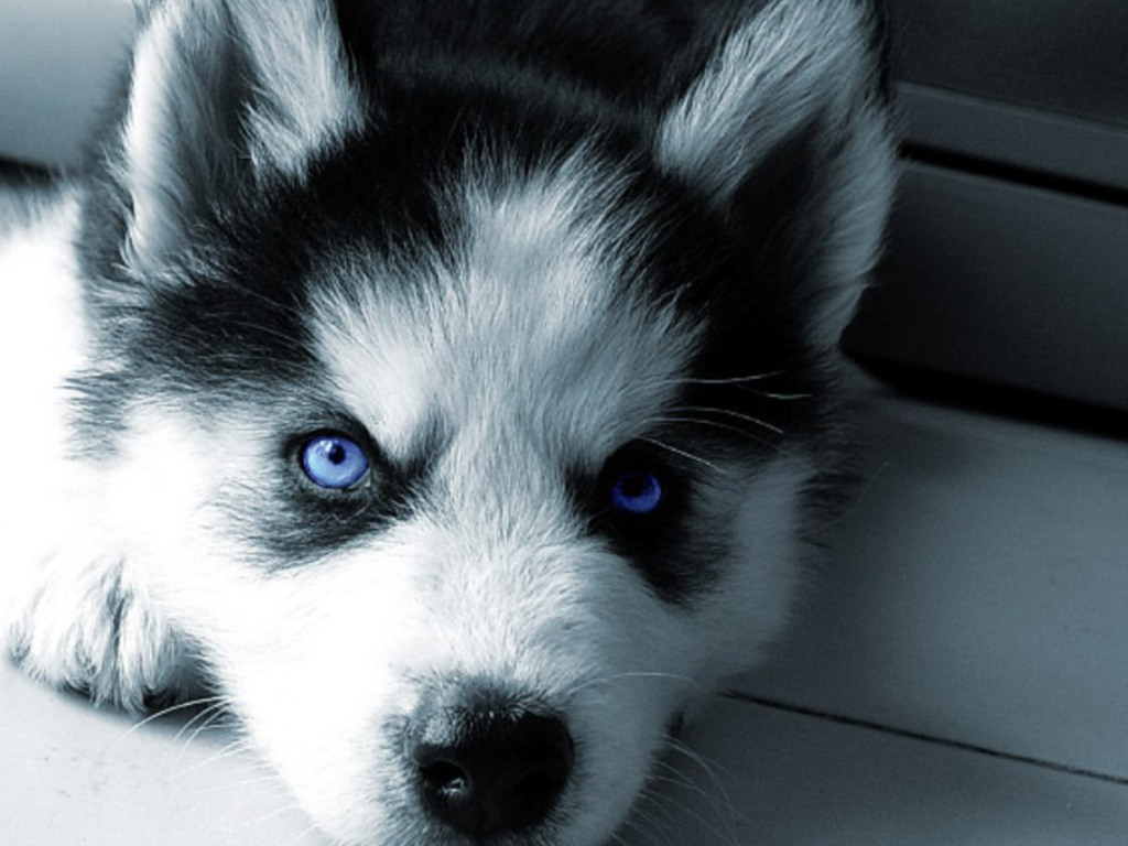 siberian-husky-wide-wallpaper-hd-38