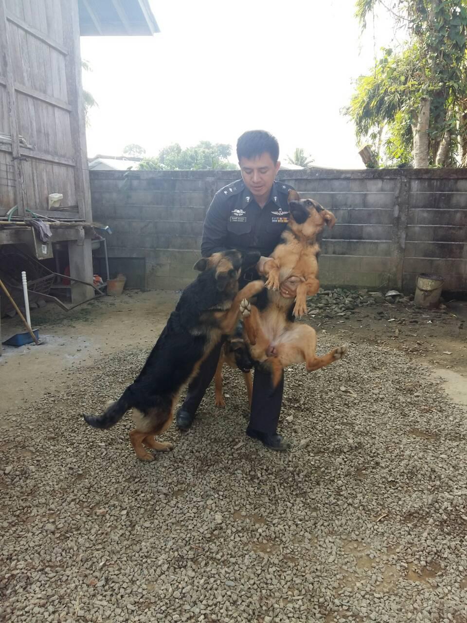 36221อัลเซเชี่ยนหมาสุนัขตำรวจ