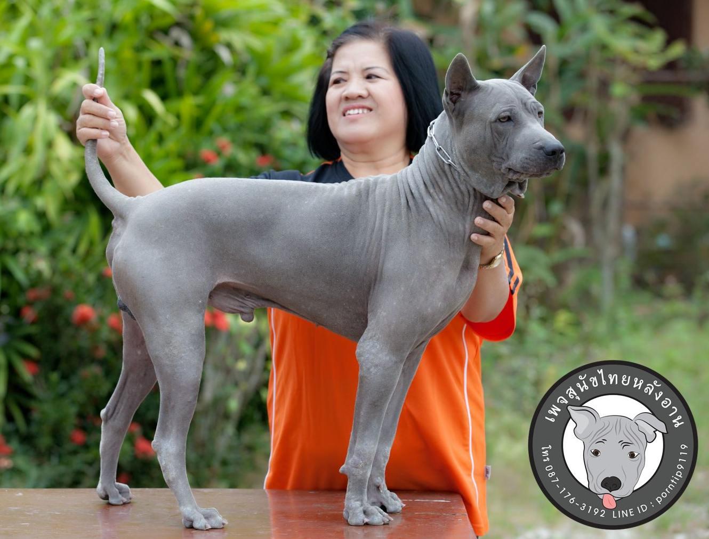 สุนัขไทยหลังอาน ขายสุนัพ่อพันธุ์ไทยหลังอานสีแดงสีสวาดรับผสมเชียงรายเชียงใหม่พะเยาลำพูนลำปางแพร่น่านภาคเหนือขไทยหลังอาน   ลูกสุนัขไทยหลังอาน พ่อพันธุ์แม่พันธุ์Print-0361_webcamera360_20141224130914