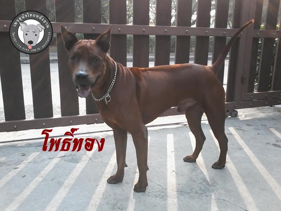 พ่อพันธุ์ไทยหลังอานสีแดงสีสวาดรับผสมเชียงรายเชียงใหม่พะเยาลำพูนลำปางแพร่น่านภาคเหนือ